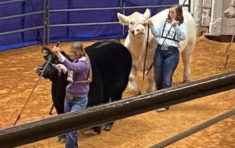 Eighth grader Hannah Bosely shows her cow.
